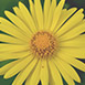 ingredient-arnica